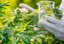 marijuana terapeutica