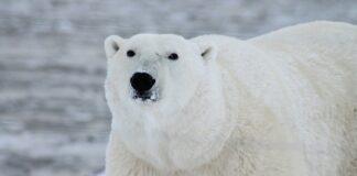 l'attacco dell'orso polare