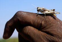 Invasione di locuste