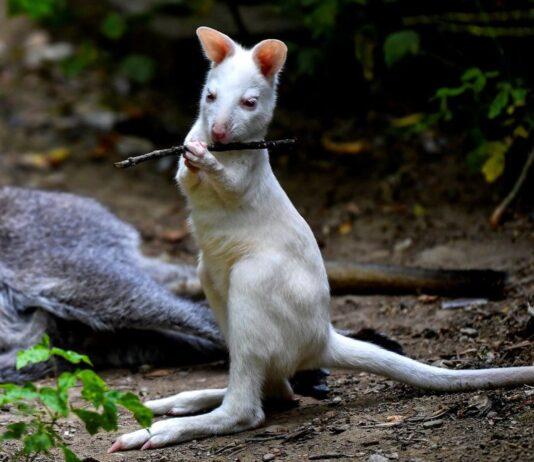 Esemplare di canguro bianco