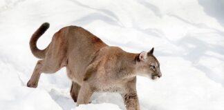 Oklahoma propone la caccia al puma