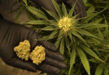 Cannabis domestica
