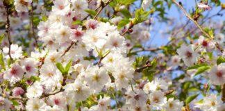 fiori di kyoto
