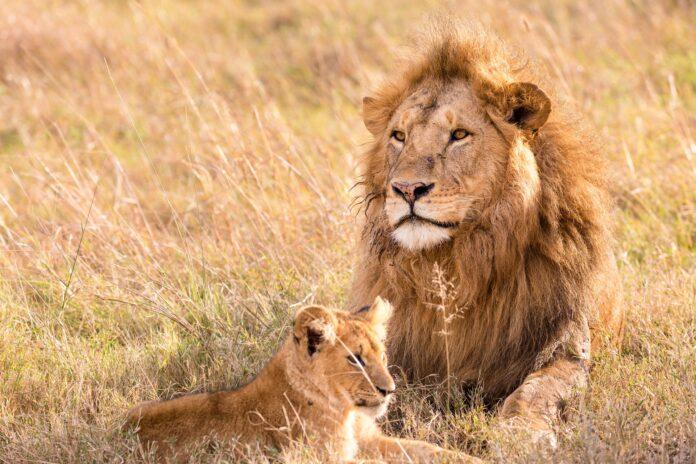 stop agli allevamenti di leoni