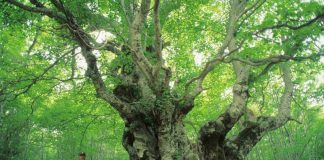 Inserite due Foreste Vetuste