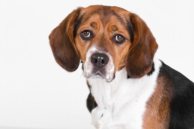 Beagle per test in vivo